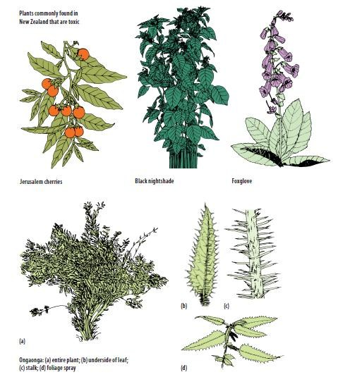 Plants commonly found in New Zealand that are toxic